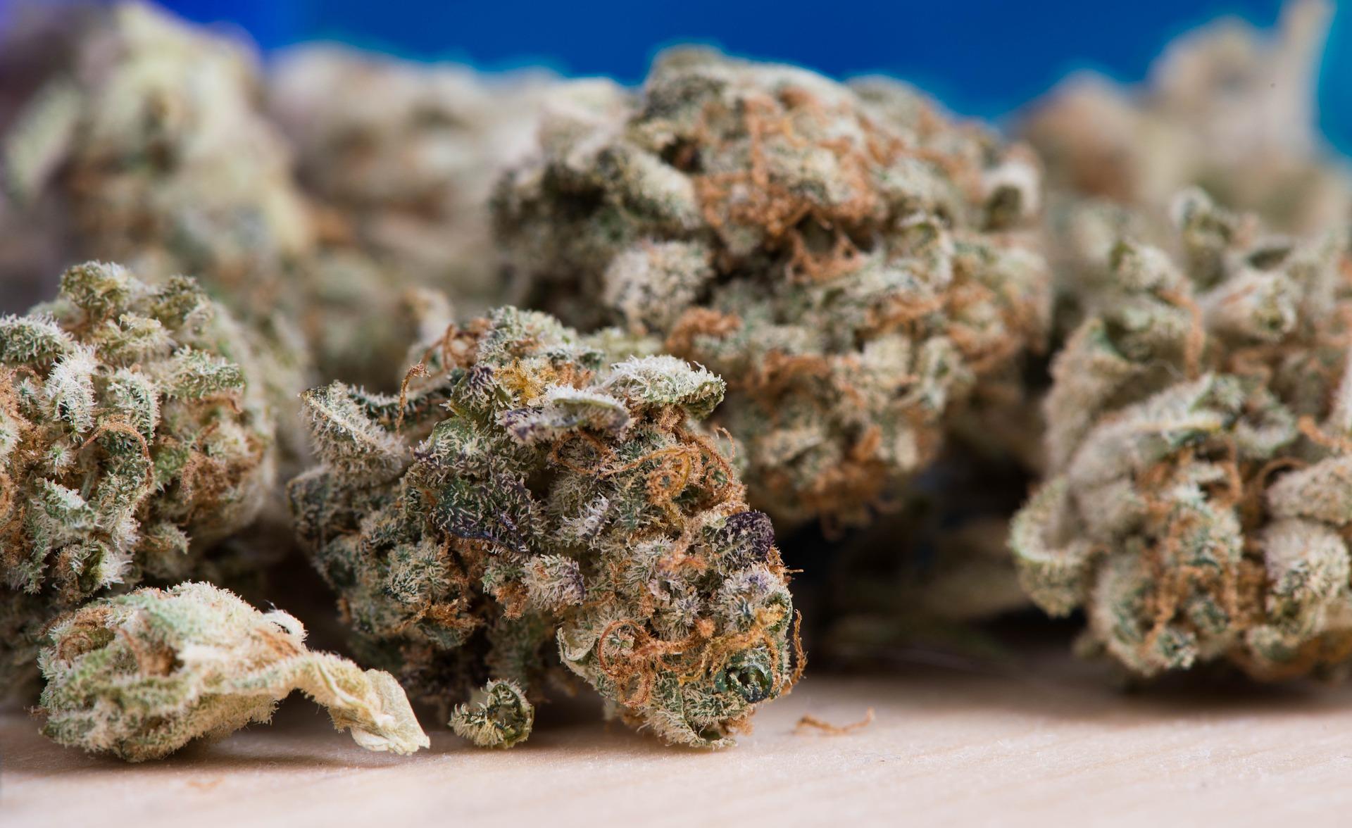 Die Wirkstoffe von Cannabis befinden sich zum Großteil in den Blüten.