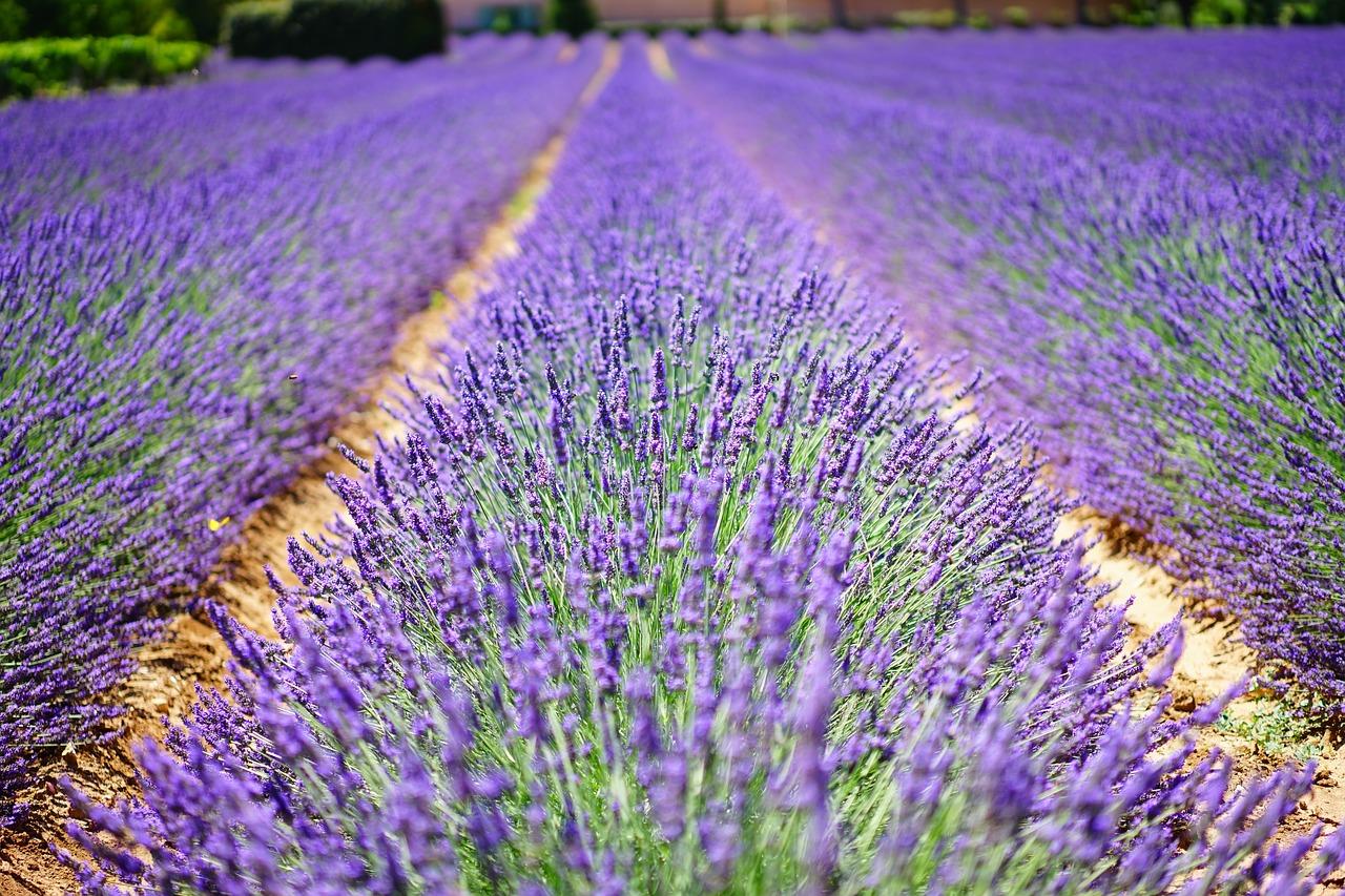 Terpene sind auch in Lavender vorzufinden.